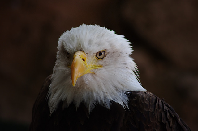 american-eagle-1